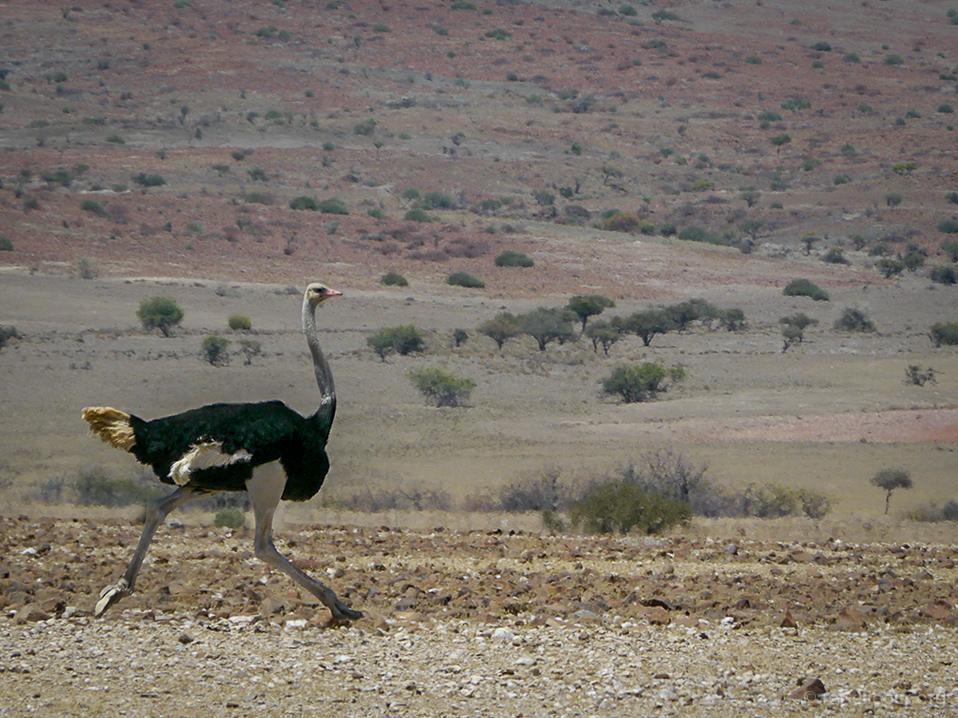 20141103_Namibia_Safariwahnsinn_02_strauss