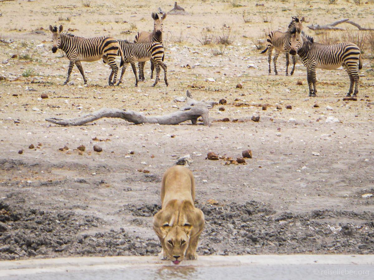 20141106_Namibia_Safariwahnsinn_P1120897