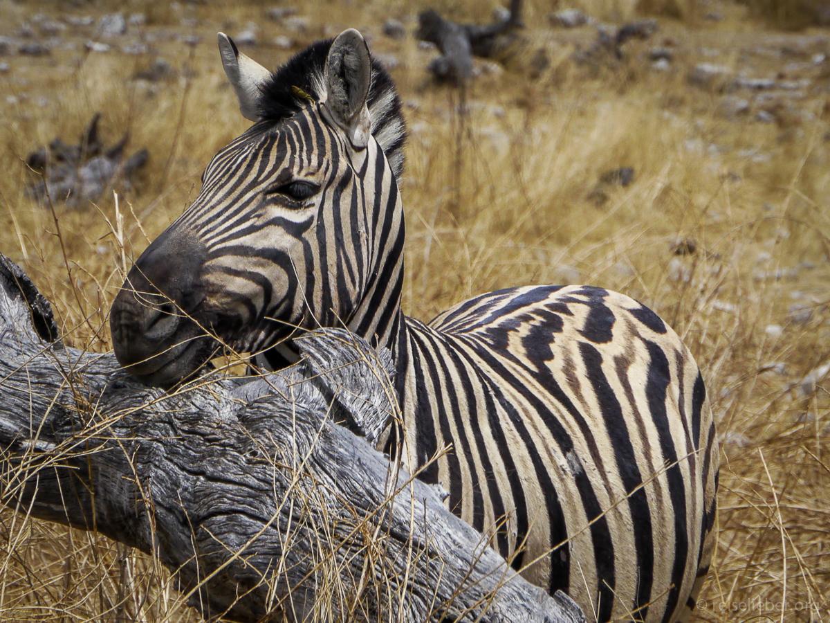 20141108_Namibia_Safariwahnsinn_P1130322
