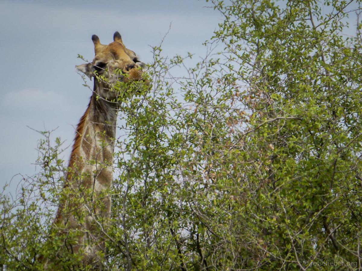 20141108_Namibia_Safariwahnsinn_P1130327
