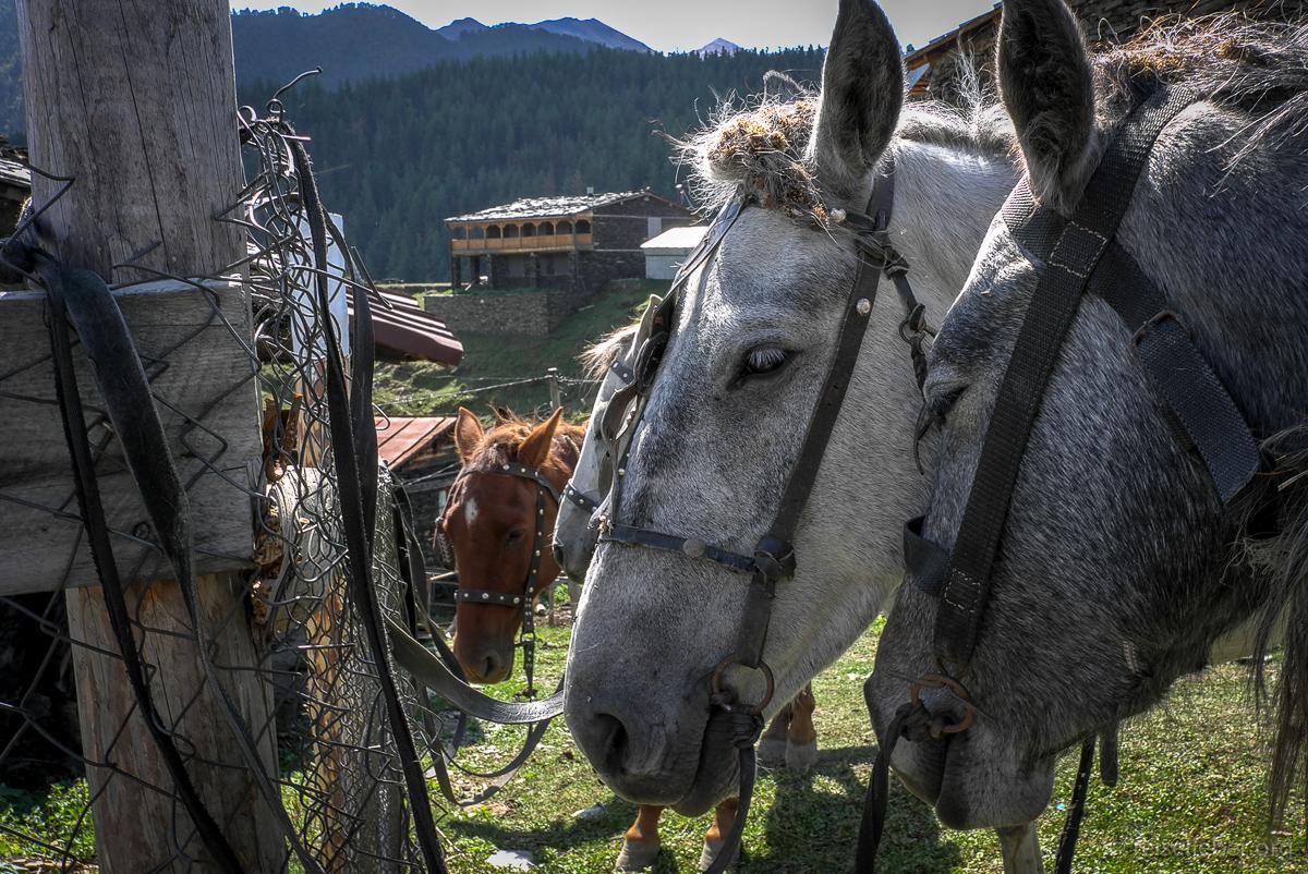 Pferde in Tuschetien