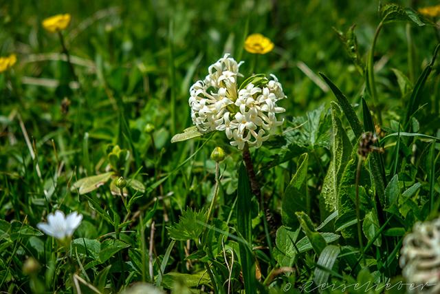 Blume in Tuschetien