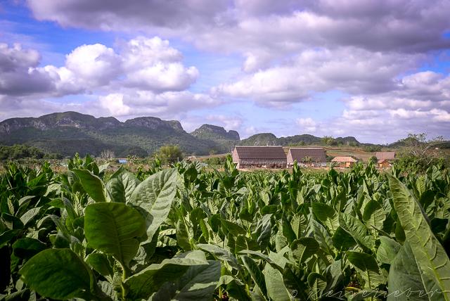 Tabakfelder bei Viñales