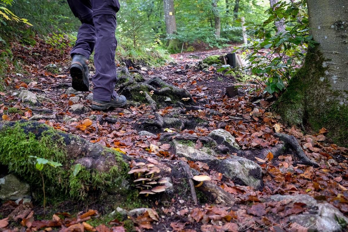 Wanderer im Herbstwald steigt über Wurzeln