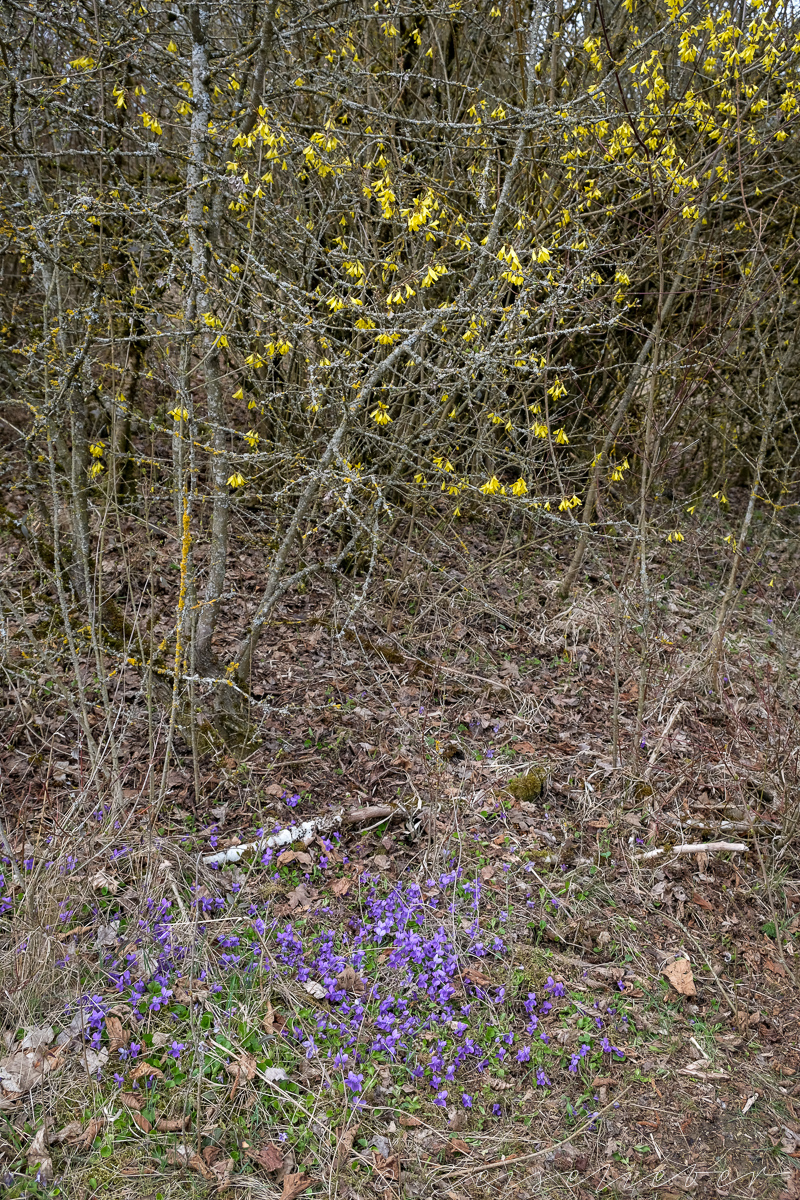 Blühende Frühlingsblumen an der Rundwanderung um Schernfeld