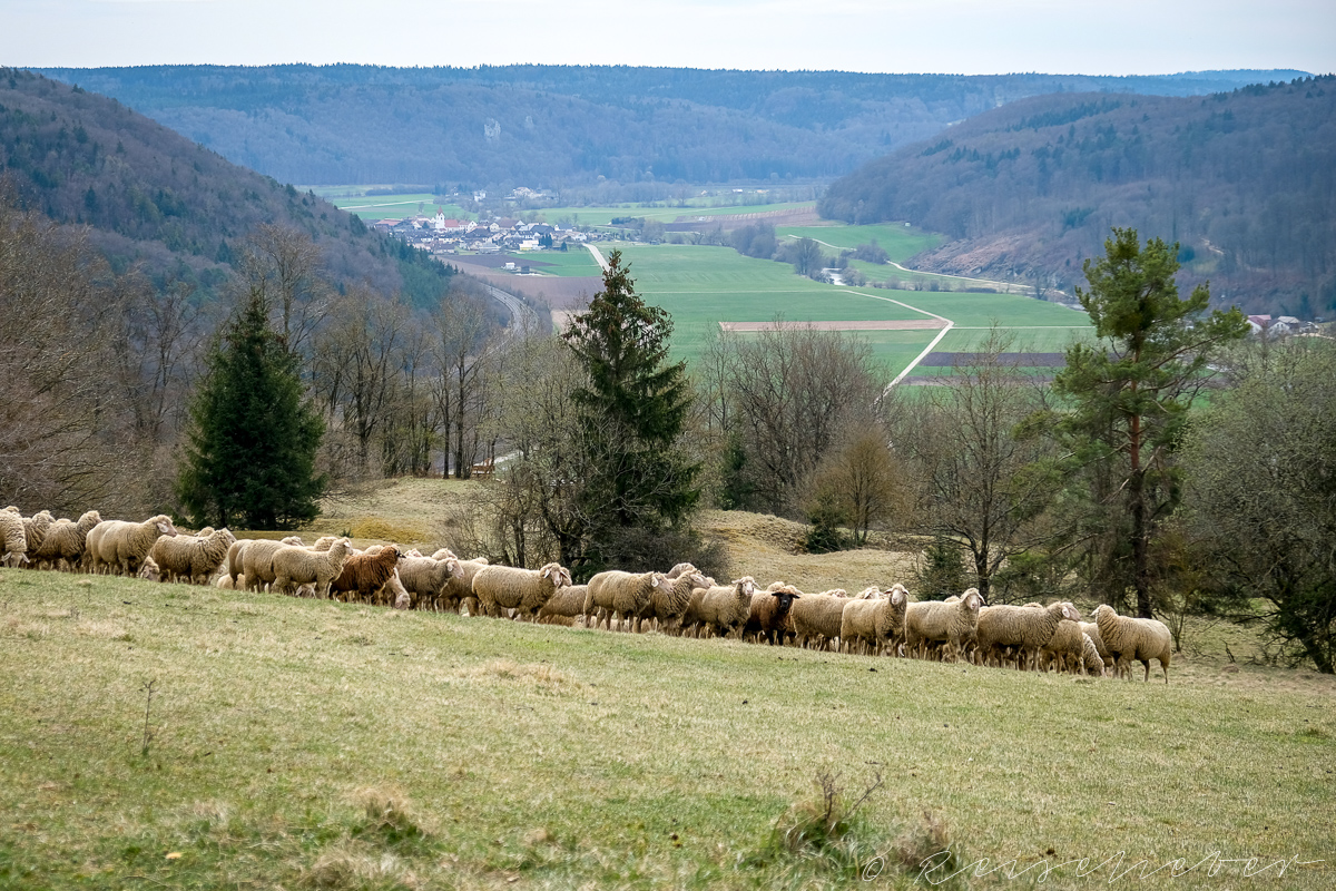 Schafe auf der Rundwanderung um Schernfeld