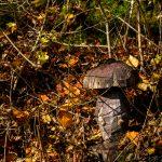 Holzpilz im Wald im Urdonautal