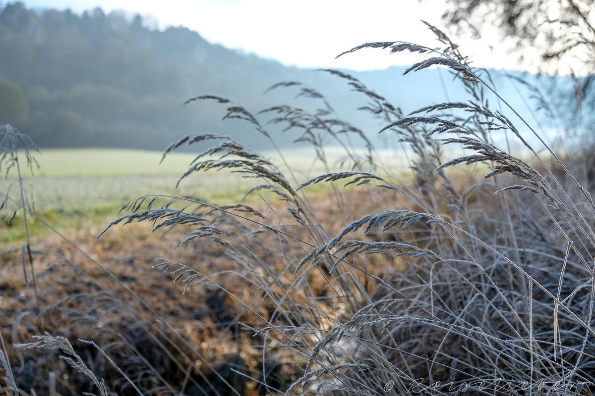Gräser mit Raureif im Urdonautal
